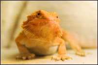 Reptiles for sale : Bearded dragon